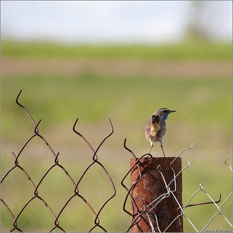 Песнь над рабицой - птичка забор сетка огород деревня шустиково квадратное фото фотосайт