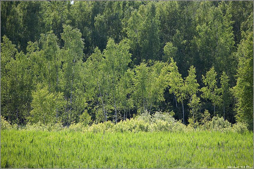 Березовка - березки болото шустиково зелень лето трава осока фото фотосайт