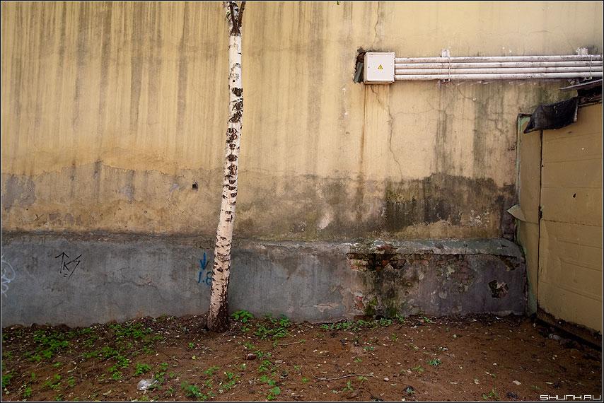 Выросла береза под моим окном... - береза стена трубы улица подворотня фото фотосайт
