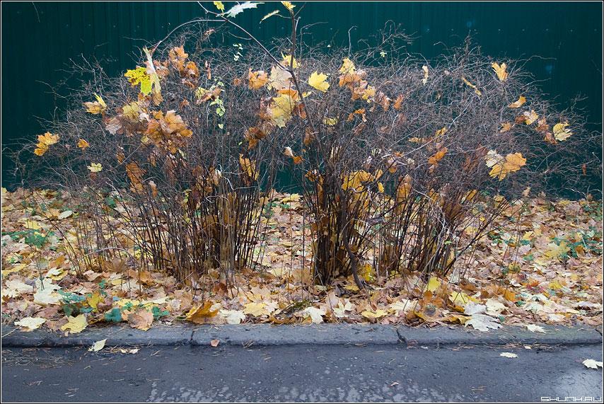 Осенний салют - кусты листва забор улица листики цвет фото фотосайт