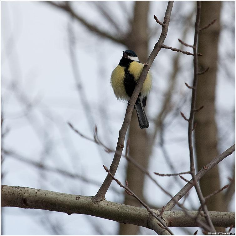 Петь - синичка петь песня клюв дерево зима квадратное фото фотосайт
