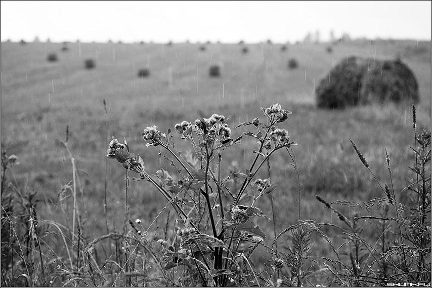 Репей - дождь деревня сено катушки поле чёрнобелые фото фотосайт