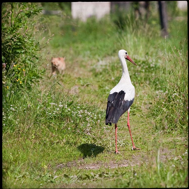 Охота... - аист кот трава среднийформат охота фото фотосайт