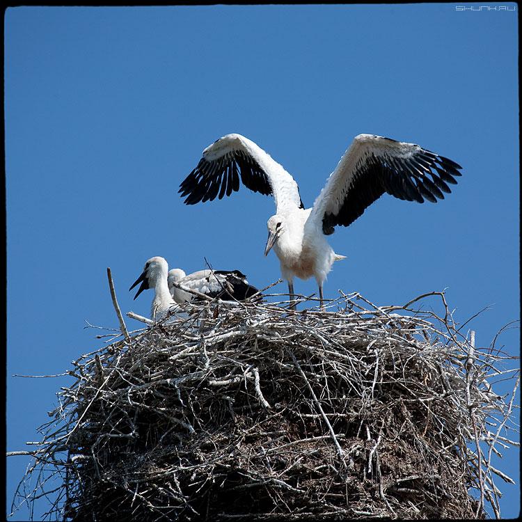 Аист на крыше или Какое небо голубое - аист небо квадратное крылья гнездо деревня фото фотосайт