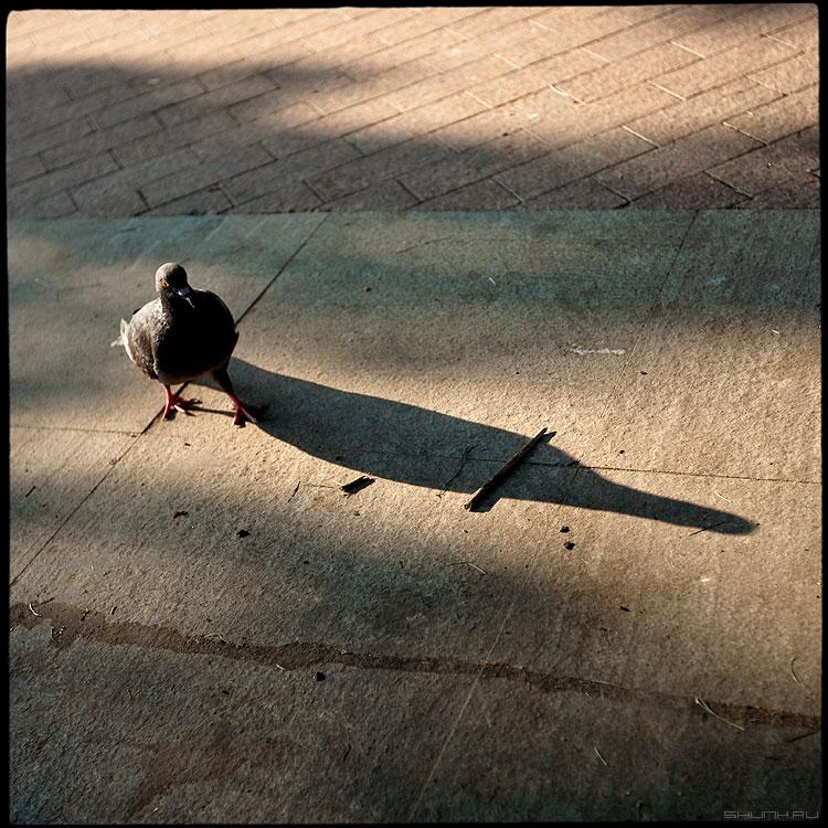 Кегля - голубь среднийформат квадратное тень палочка фото фотосайт