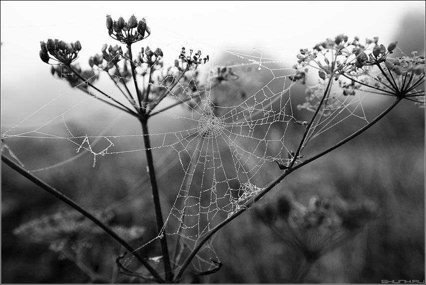 Паутинко 1 - паутина чернобелое деревня природа растение семена фото фотосайт