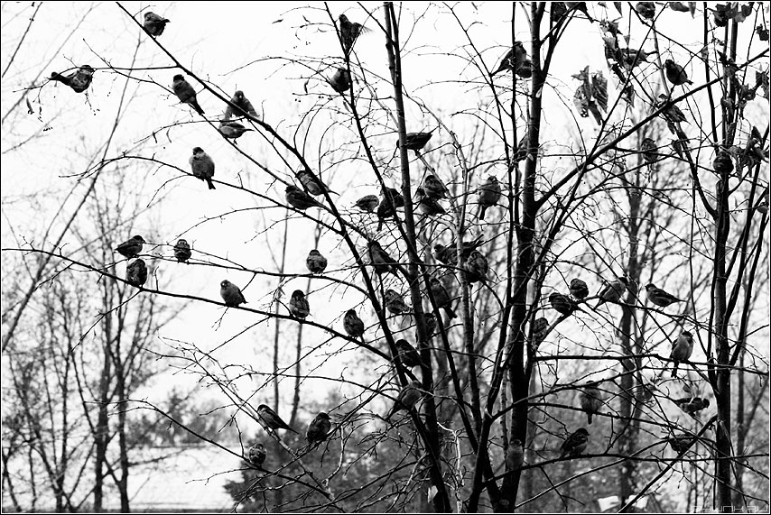 Последние листочки - воробьи осень листва ветви парк чёрноеибелое фото фотосайт
