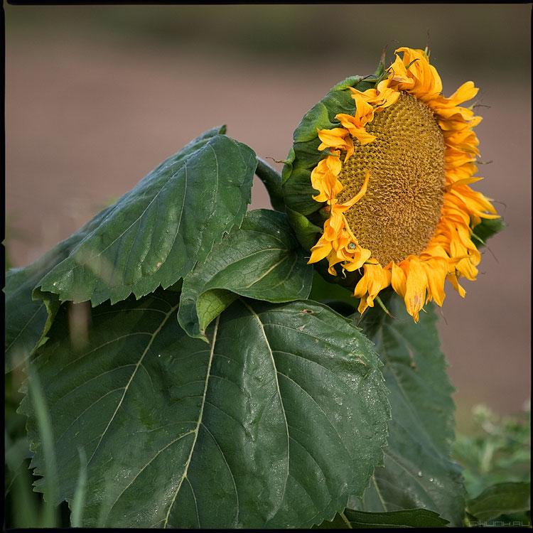 Подсолнечное - подсолнух деревня цвет среднийформат желтый зеленый фото фотосайт