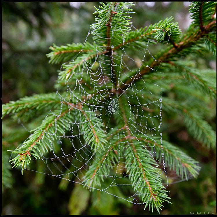 Макрушное 2 (в цвете) - елка паутина деревня среднийформат капельки квадратное фото фотосайт