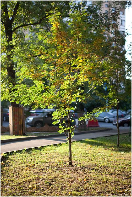 Осень в городе 2 - осень деревце листва одиночество рябина цвет фото фотосайт