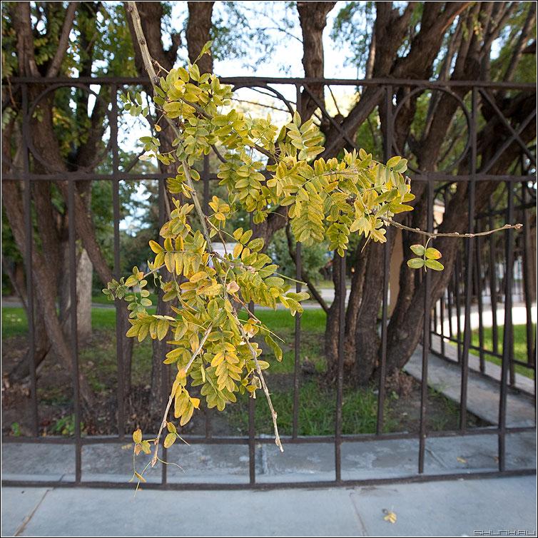Осенняя тяга - квадратное осень кустик забор листики желтое фото фотосайт
