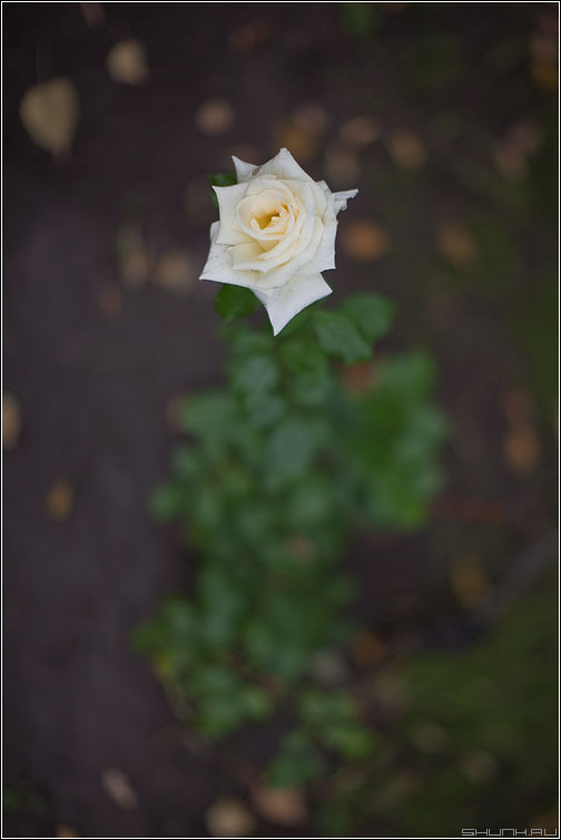 Роза белая такая - роза белая 1.2 диафрагма цветочек фото фотосайт