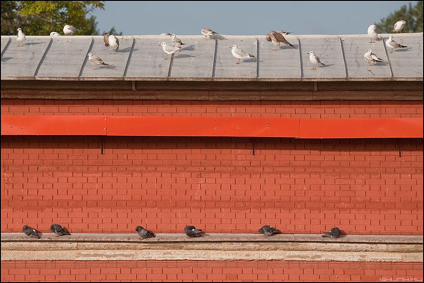 Пузырьковая сортировка - птички чайки голуби петропаловская крепость стена питер санкт-петербург птички кирпичи фото фотосайт