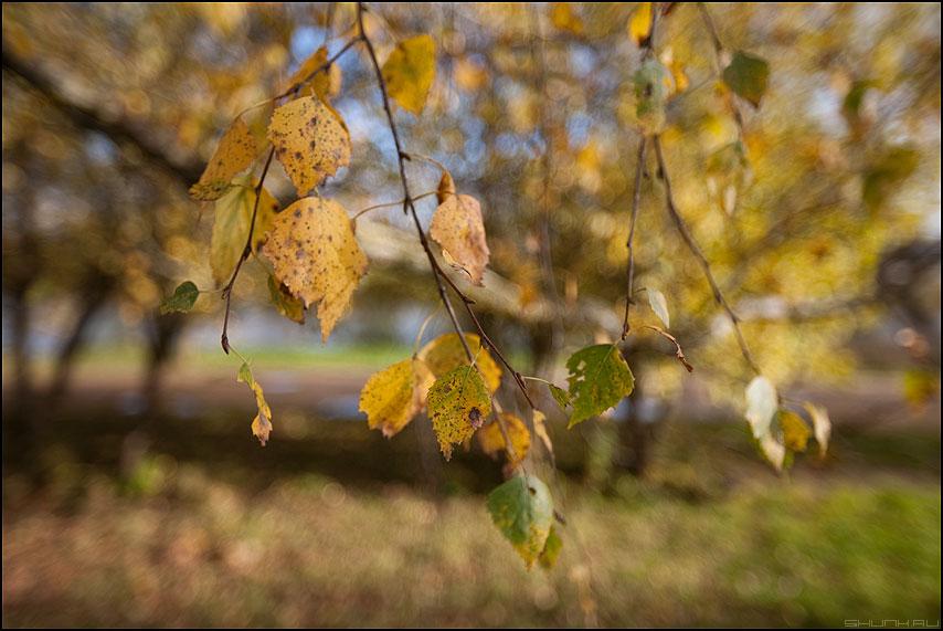 Березовая осень - 1.4 диафрагма осень береза листики деревня настроение фото фотосайт