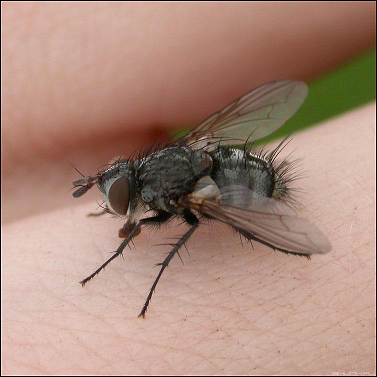Муха - муха макро крылышки детализация квадратное фото фотосайт