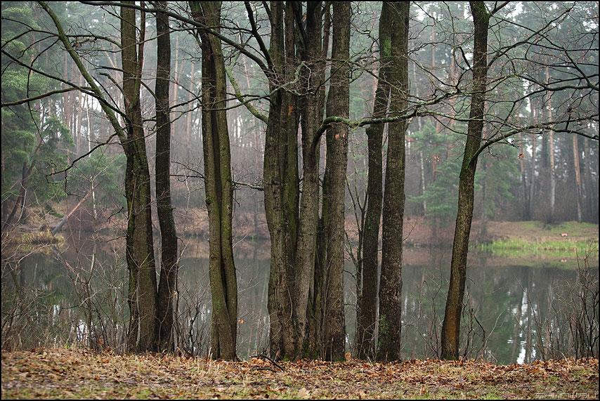 Все равны как на подбор, с ними... - деревья берег сербор серебряныйбор осеннее стволы фото фотосайт