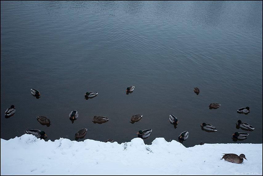 Серая Шейка - утки зима декабрь москва река берег снег водоем фото фотосайт