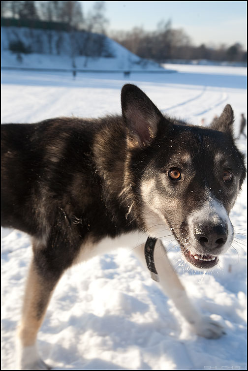 Р-р-р-р-р-р! - собак собатка собака зубы взгляд живность фото фотосайт