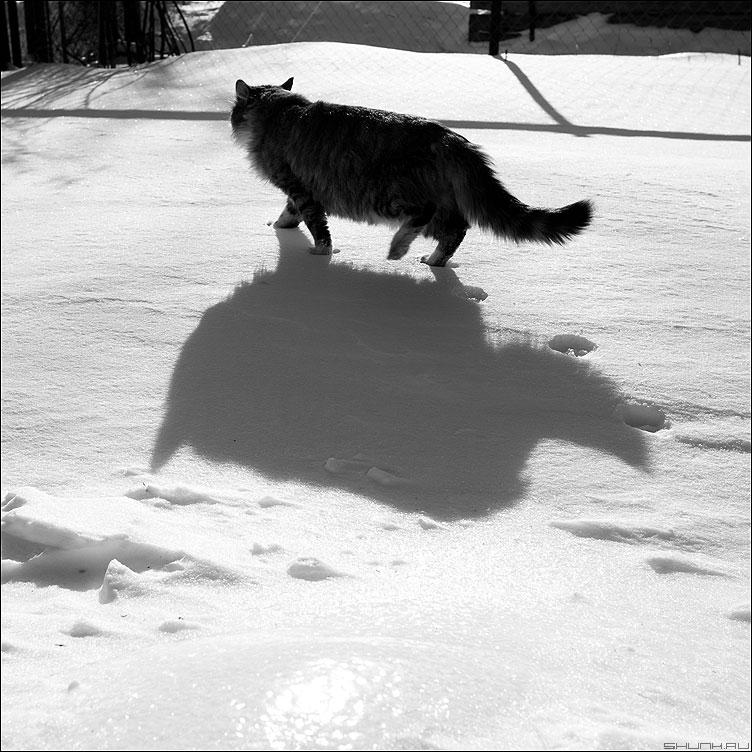 Жирный кот - кот тень снег зима квадратное фото фотосайт