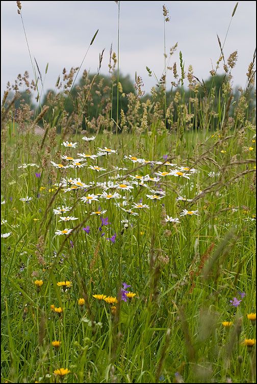 Упасть бы в поле... - поле ромашки небо лето летнее настроение фото фотосайт