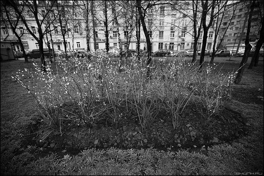 Москва. Куст. Весна. - куст монохром 2.8 клумба весеннее садовое фото фотосайт