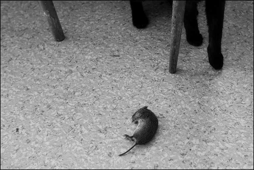 Пушок подкрался незаметно - кот мышь монохром лапы ножки табуретка фото фотосайт