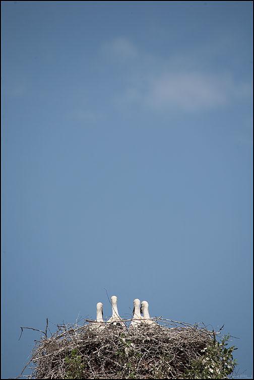Четыре брата - деревня природа гнездо аисты небо четыре фото фотосайт