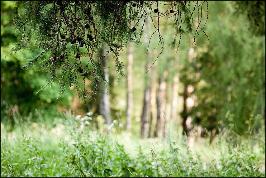 Иголочки - лес иголочки зеленое летнее деревья фото фотосайт
