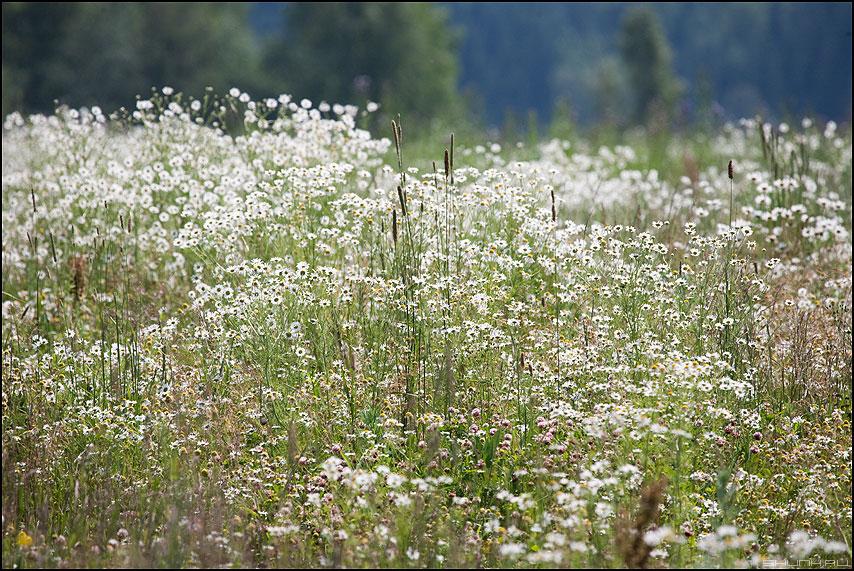 Ромашки - ромашки поле деревня лето природа травинки фото фотосайт