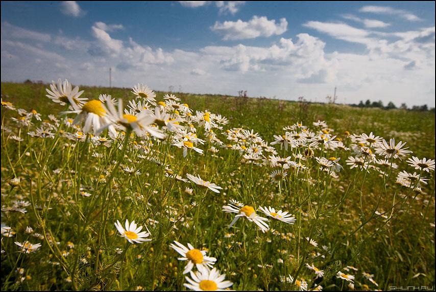 Ромашковое небо - ромашки деревня поля таложня летнее лето цветочки фото фотосайт