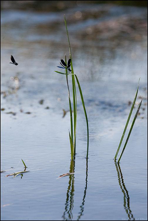 Почему у стрекозы грустные глаза? - стрекоза травинки осока макро вертикальное речка фото фотосайт