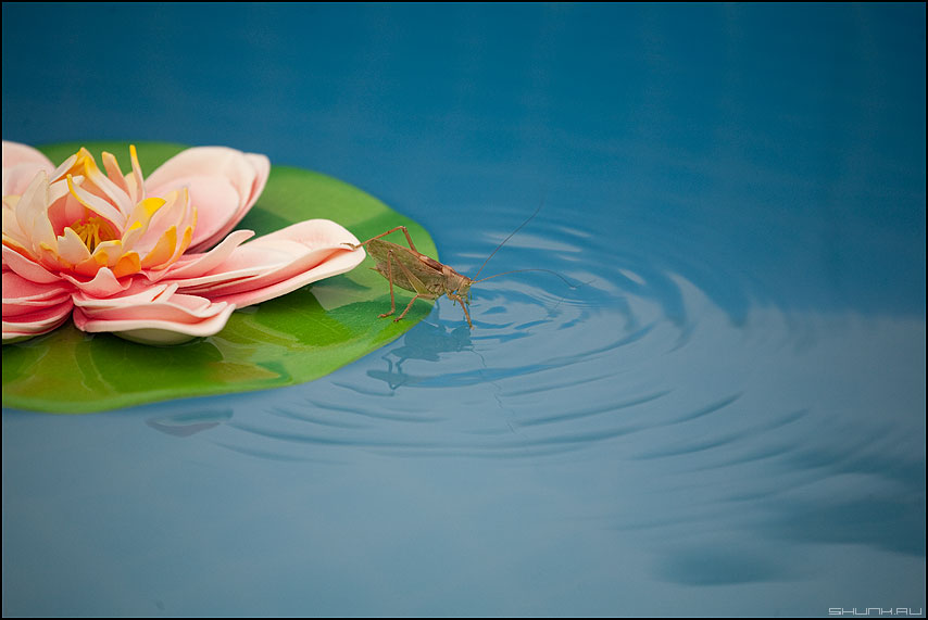 Мой сон - кузнечик лилия бассейн вода круги фото фотосайт