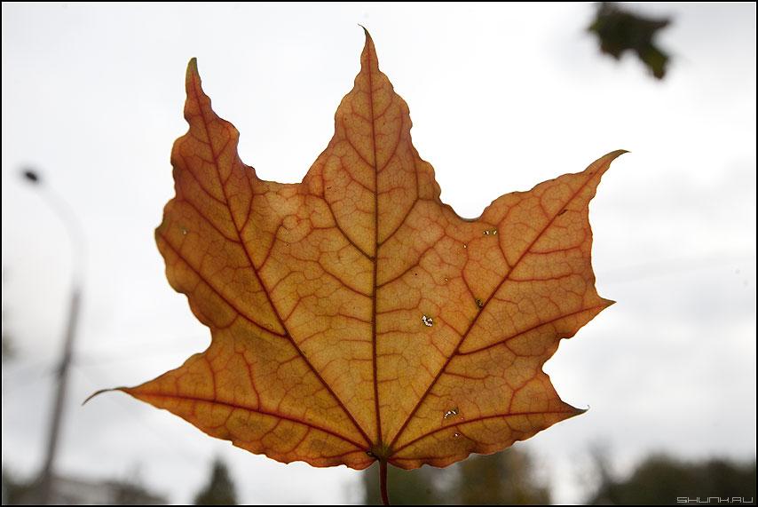 Жилки осени - лист жилки прозрачный 50% небо просвет фото фотосайт