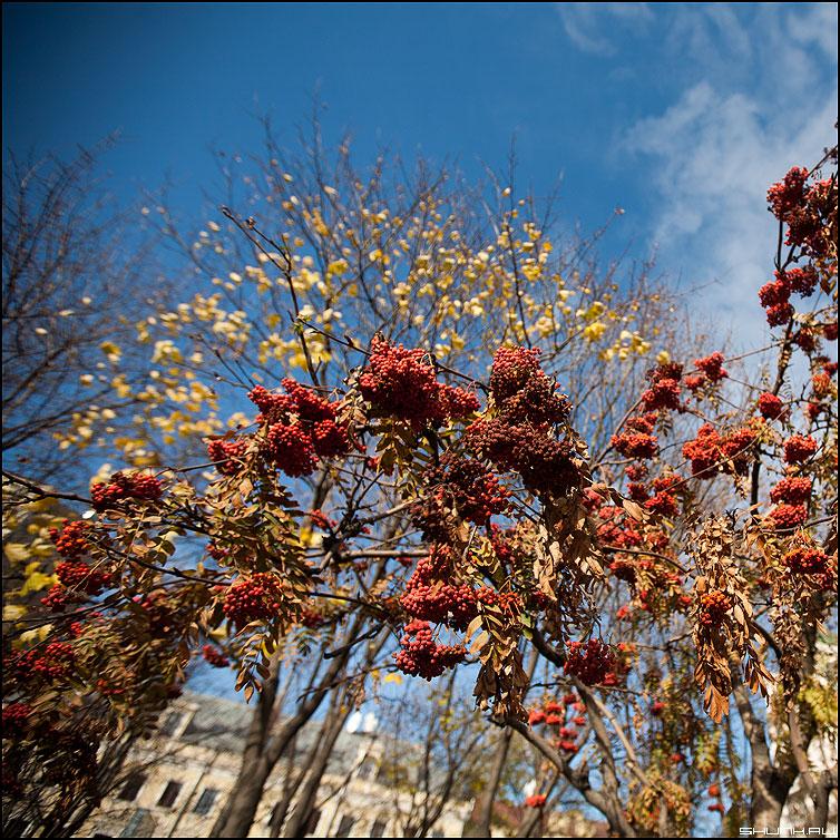 Ягоды - ягоды квадратное рябина небо желтая листва осень осеннее фото фотосайт