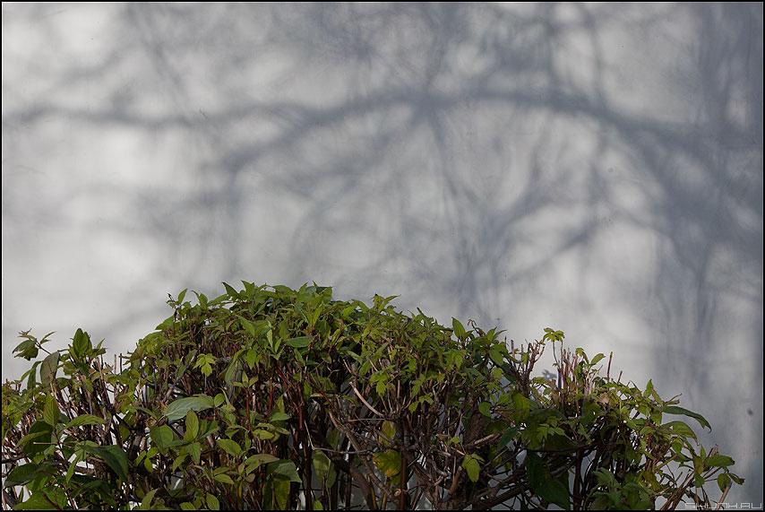 Тени над кустом - тени куст стена белое фото фотосайт