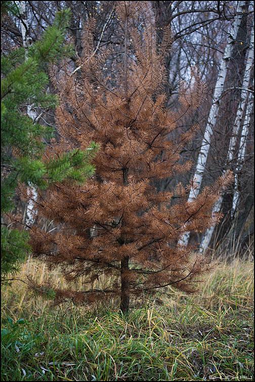 Погорельцы - сосна сосенка лес парк иголки погорельцы коричневое фото фотосайт
