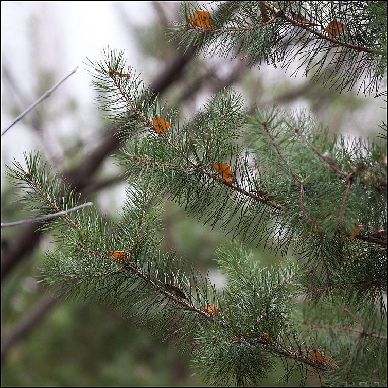 * * * - елки иголки квадратное фото фотосайт