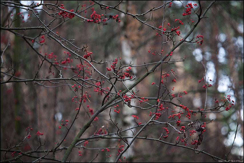 Разбросанные бусы - рябина бусы лес парк осеннее фото фотосайт