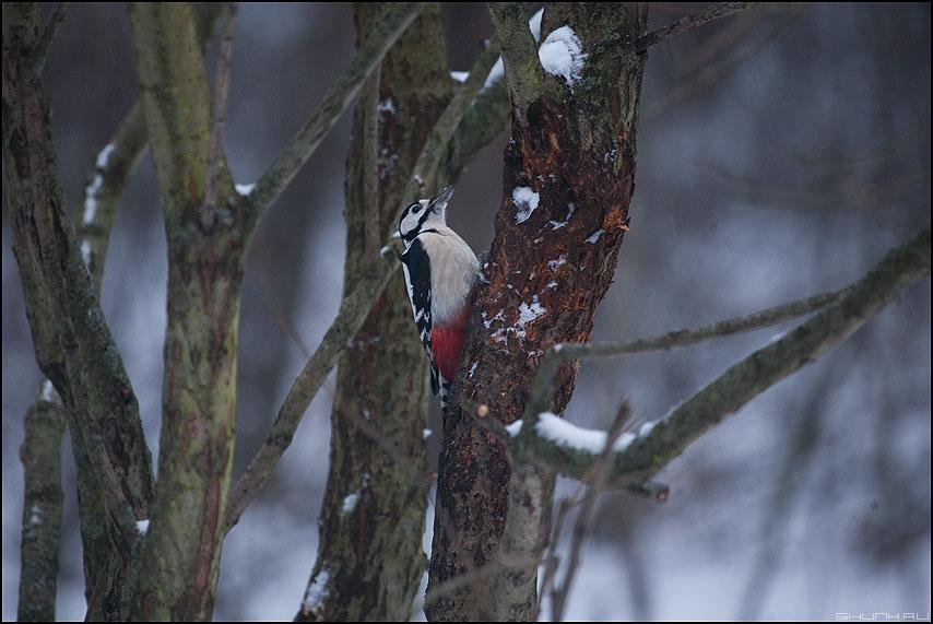 Ну ты дятел! - дятел дерево зима живность фото фотосайт