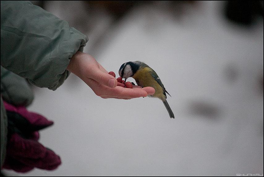 Жадность фраера сгубила - синичка рука орешки зима живность фото фотосайт