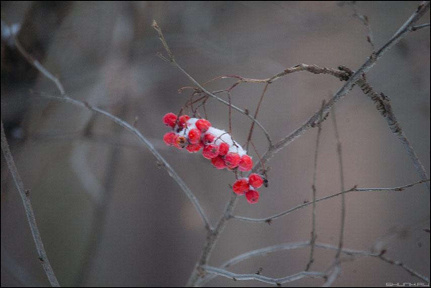 Ряби на... - рябина парк зимнее красная грип фото фотосайт