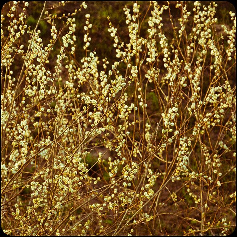 Весенние веточки - веточки квадратное зима квадратик почки верба фото фотосайт