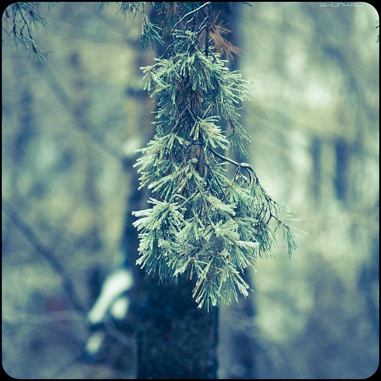 * * * - веточки квадратное обработка зима ледяное хрустальное сосна иголочки фото фотосайт