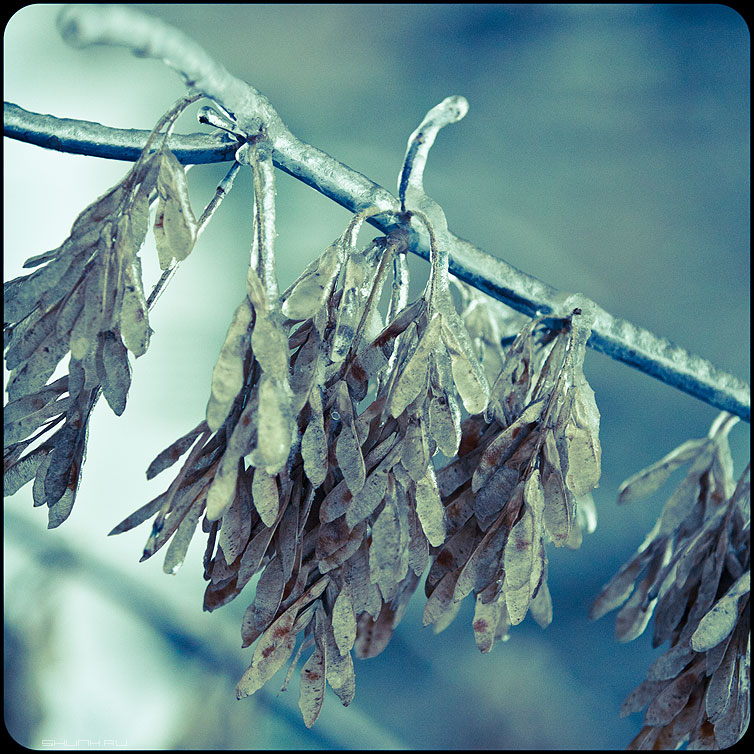 * * * - веточки квадратное обработка зима ледяное хрустальное вертолетики семяна замерзжие фото фотосайт