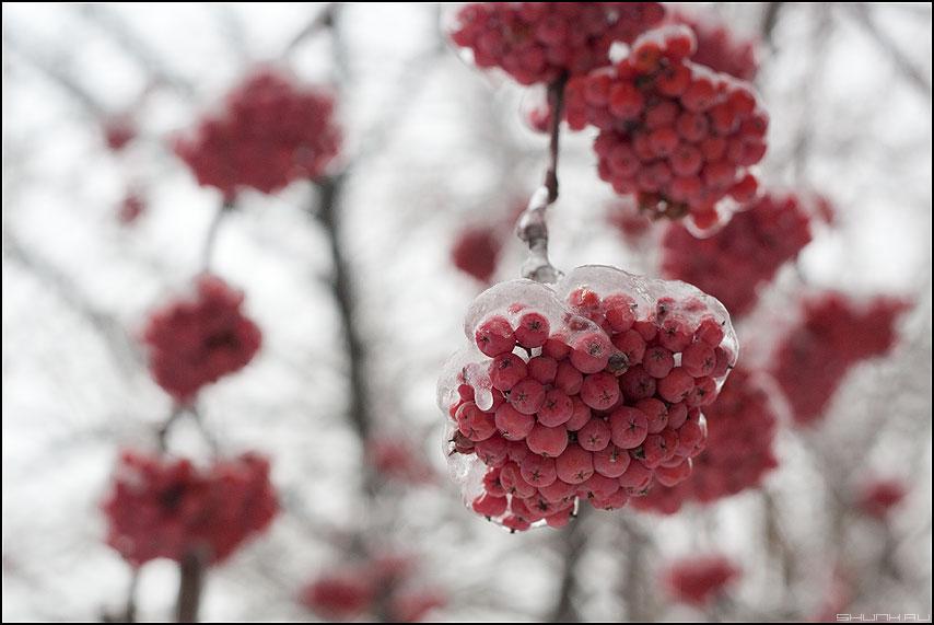 Рябинушка - зима лед рябина гроздья 1.8 макро полтос фото фотосайт