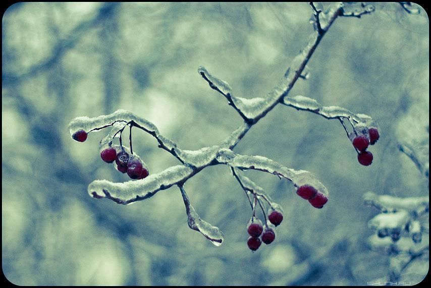 Ветошка - веточка ягодки обледенение хрустальное фото фотосайт