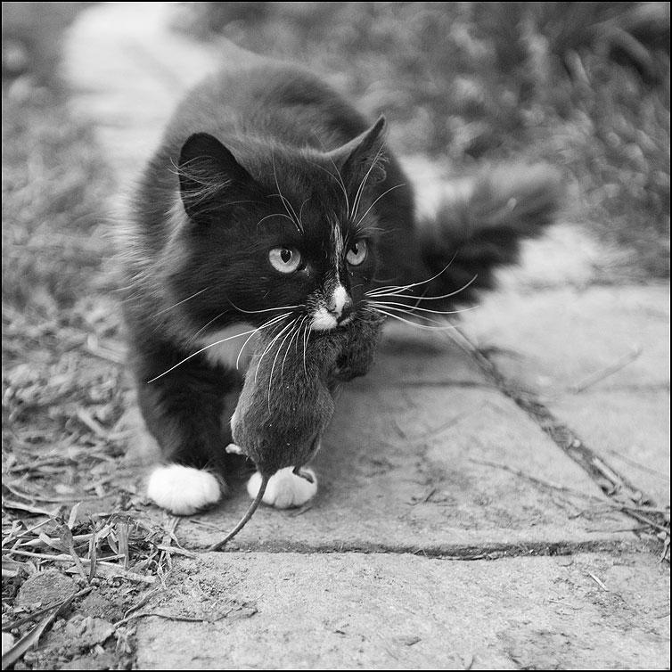 Добыча - кот квадратное деревня мышь монохромное фото фотосайт
