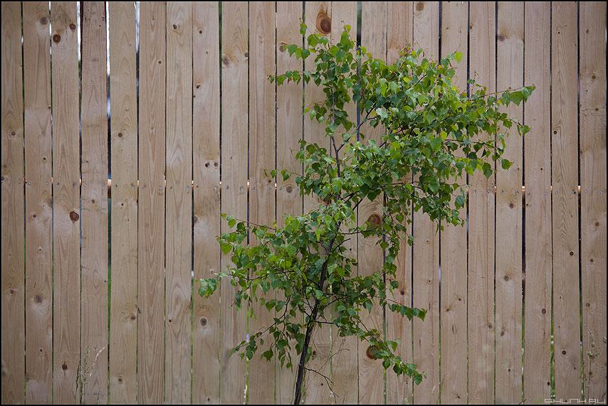 Береза под моим окном - береза забор деревня листики фото фотосайт