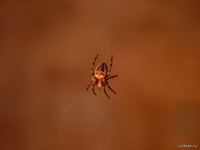 Паук - паук на паутине фото фотосайт