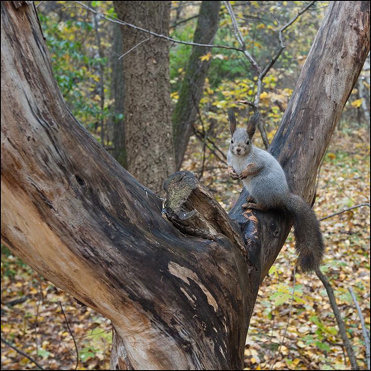 Белочка - белка лес осеннее орешки все грызет фото фотосайт